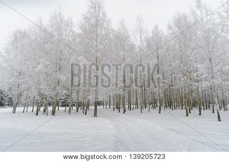 Birch trees under high pressure by snow and ice
