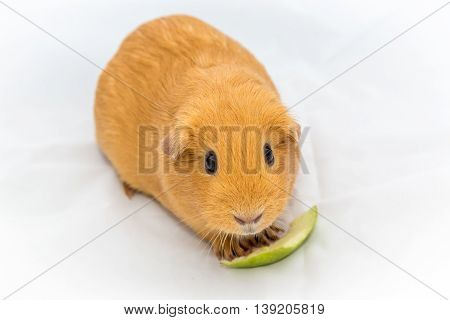 Small Orange Color Guinea Pig Eating The Apple