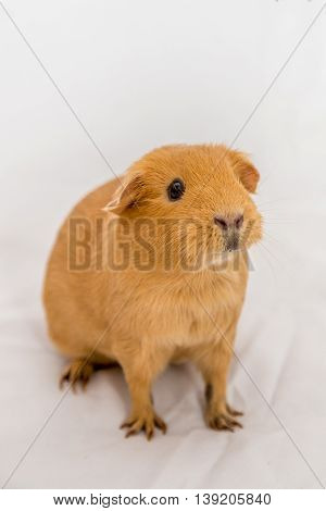 Curious small orange color Guinea Pig on a white background