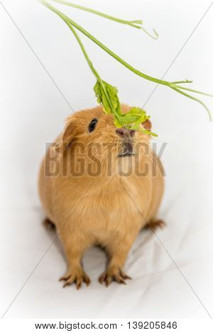 Hungry small orange color Guinea Pig on a white background