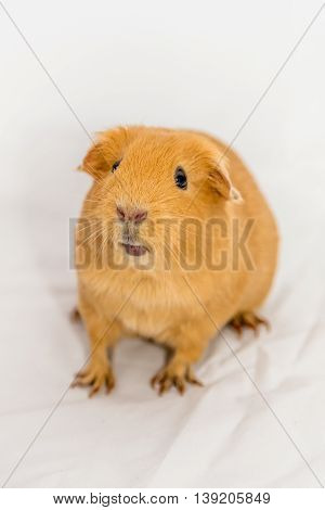 Funny small orange color Guinea Pig on a white background