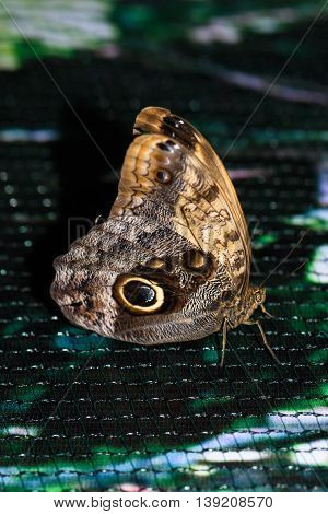 Close up photo of big brown butterfly stand on a grid.