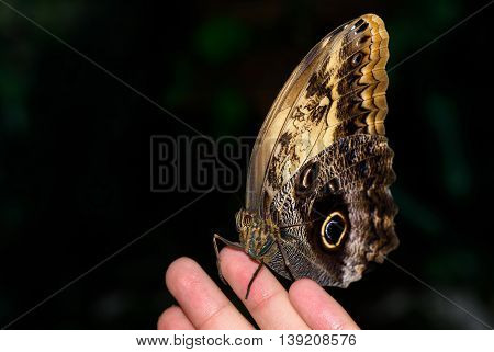 Close up photo of big brown butterfly stand on a female hand.
