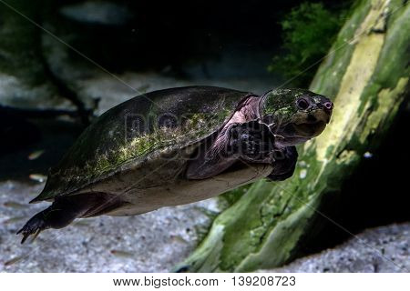 Big Head Sideneck Turtle Underwater Close Up