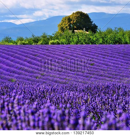 Stunning landscape with lavender field with old farmhouse. Plateau of Valensole Provence France. Small depth of field
