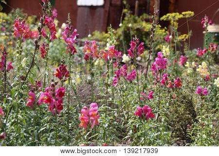 Snap dragon flower Antirrhinum majus blooming in garden