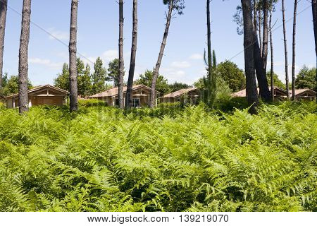 Lots Of Ferns In Front Of Some Houses With Some Trees In Cummer