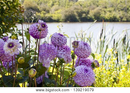 Purple Dahlias In A Park Near A Lake In Summer