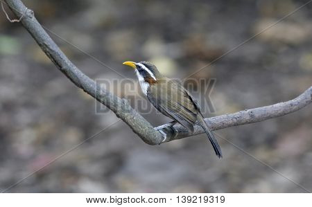 White-browed Scimitar-babbler(Po matorhinus schisticeps) look at the camera