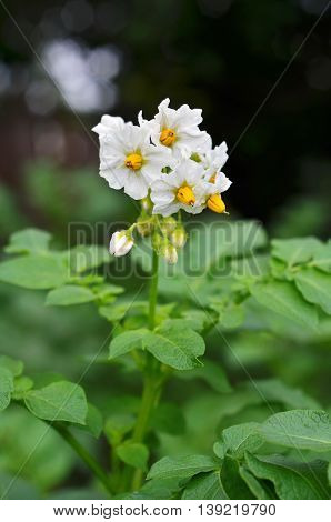 Green potato plant. Leaf of vegetable. Organic food agriculture in garden field or farm. Growth of crop. Rural nature in summer.Flower potato