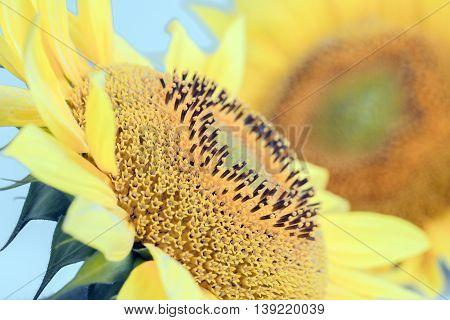 Sunflower close up, bright yellow sunflowers. Sunflower background