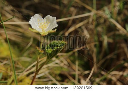 Small Cloudberry (rubus Chamaemorus) Plant With Blossom