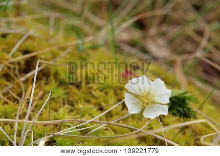 Small Cloudberry (rubus Chamaemorus) Plant With Blossom