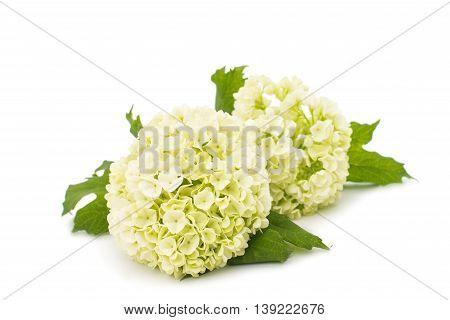 white small hydrangea on a white background