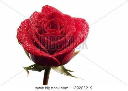 Detail beautiful red rose flower whit water dorps on white background