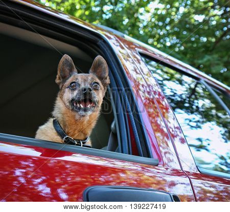 a small chihuahua pug mix in a red vehicle looking out the window waiting for the owner to return