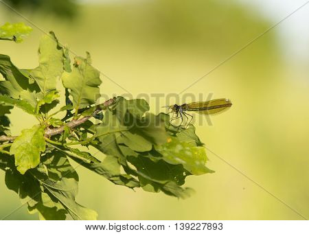 green dragonfly with prey on oaks leaf