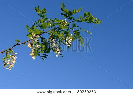 Acacia branch on a background of blue sky