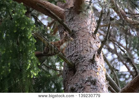 Eurasian Red Squirrel (sciurus Vulgaris) Sitting On A Pine