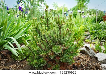 Green pine bush in garden