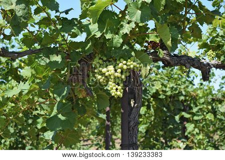 The Grape Gardens