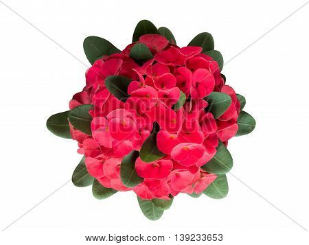 Red crown of throns flowers Euphorbia milli with green leaves