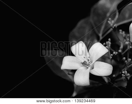 a orange Jasmine flower (Murraya paniculata) Black and White