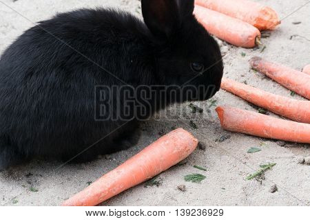Funny black rabbits with a carrot sitting on sandy soil.