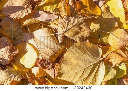 Dry Yellow Fallen Autumnal Leaves