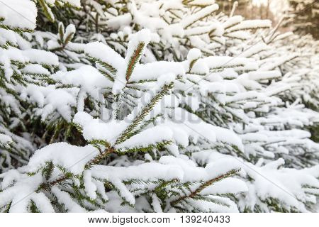 Spruce Branches Covered With Snow, Closeup