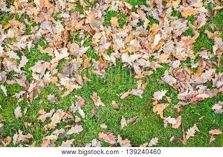 Fallen Autumnal Oak Leaves Lay On Grass