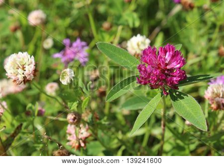 Pink clower flower in the blossom field