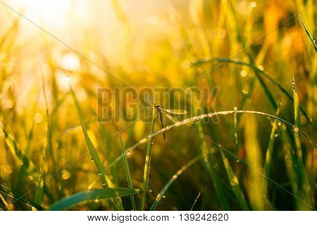 sunny morning. dragonfly sitting on a blade of grass. dew on the grass, sunlight. blur, glare, selective focus
