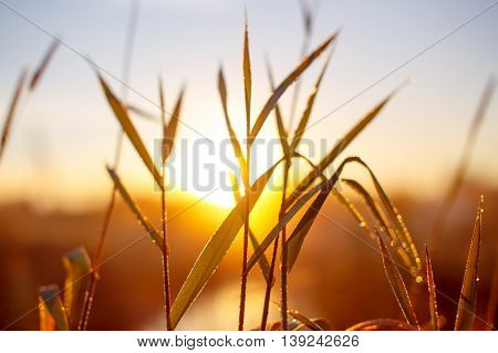 sunrise through the tall grass with dew. Morning dew on grass. blurred background