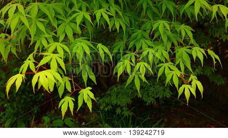Green japanese maple tree (acer palmatum) foliage