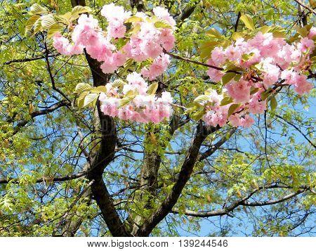 Sakura blossom in Tysons Corner near Washington DC 10 April 2010 USA
