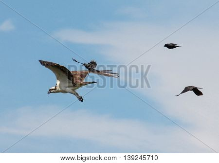 an osprey searching for food flying in the sky with three brewers black birds in pursuit trying to guard their nests in a blue sky with scattered clouds