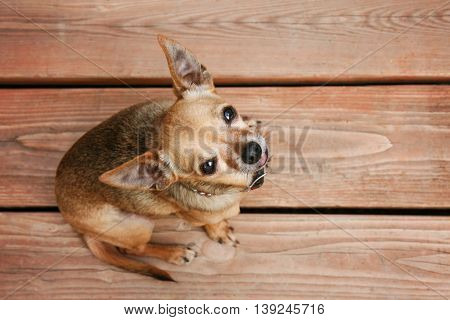 a cute chihuahua sitting on a deck during summer time looking up at his owner with love