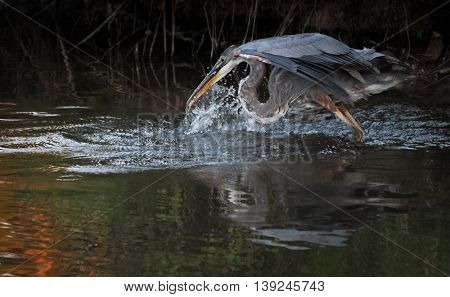 a great blue heron in a local wildlife sanctuary park pond trying to catch a fish at sunset with a huge splash - taken in low light with minor grain in the shadows