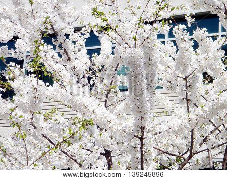 The White Cherry Blossom in Tysons Corner near Washington DC 1 April 2010 USA