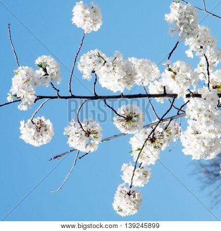 White Cherry Blossom in Tysons Corner near Washington DC 1 April 2010 USA
