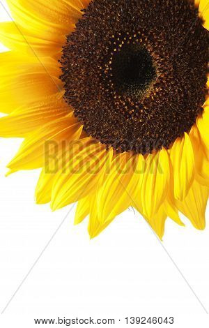 Macro of a beautiful sunflower with dew drops isolated on white