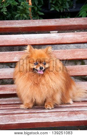 Spitz dog on a bench close up.
