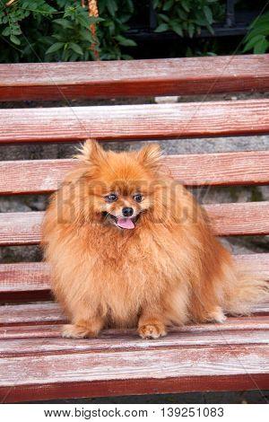 Spitz dog on a bench close up.