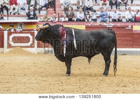 Jaen SPAIN - October 18 2008: Capture of the figure of a brave bull of hair black color in a bullfight Spain