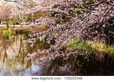 Cherry Blossom Near Lake, Hokkaido