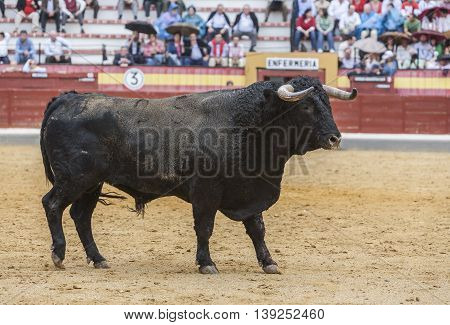 Jaen SPAIN -October 18 2008: Capture of the figure of a brave bull of hair black color in a bullfight Spain