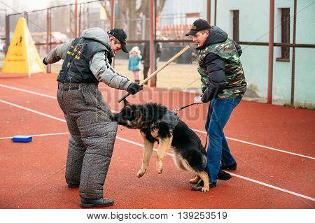 Gomel, Belarus - February 21, 2014: German shepherd dog training in Gomel Regional sports club and decorative dog-breeding. Bitting dog.