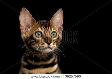 Closeup Portrait of Young Bengal Male Kitty on Isolated Black Background, Side view