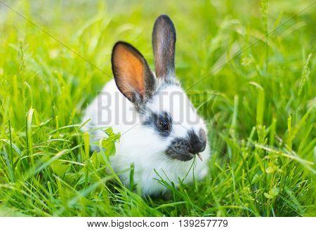 rabbit in green grass  mammal, meadow, nature, pet